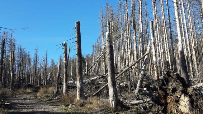 Baumsterben auf dem Brocken